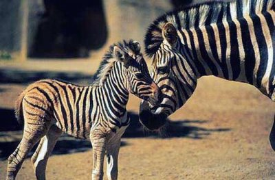 Adult zebra and foal.jpg