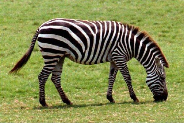 Zebras Eating Food