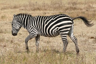 Zebra in the field.jpg