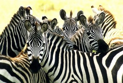 Zebras huddled in a group.jpg